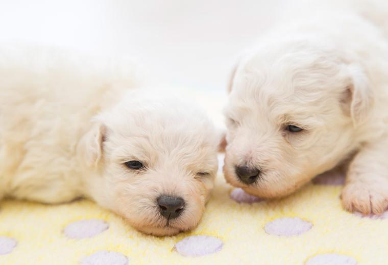 子犬のワクチン接種は、「単に注射をすればよい」ものではありません。