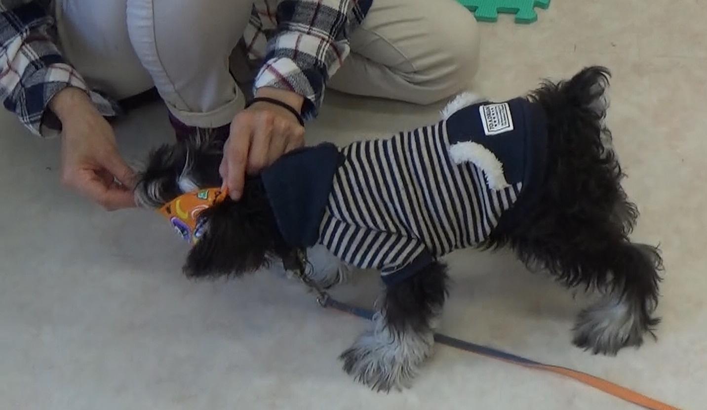 仔犬に洋服を着せる時のコツ