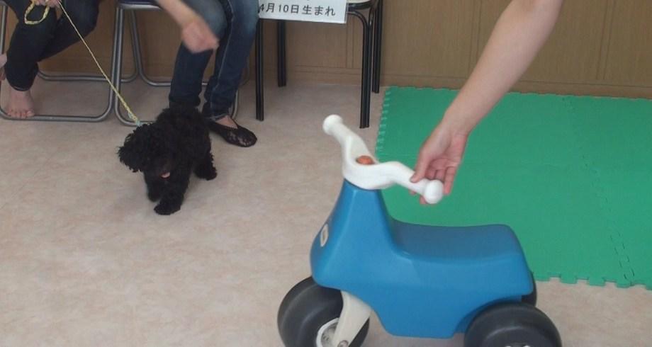 子犬に教える3つのこと トイプードル