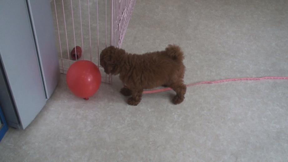 子犬の社会化期 トイプードル